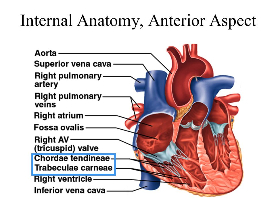 Chapter 19: The Heart Circulatory system –heart, blood vessels and ...