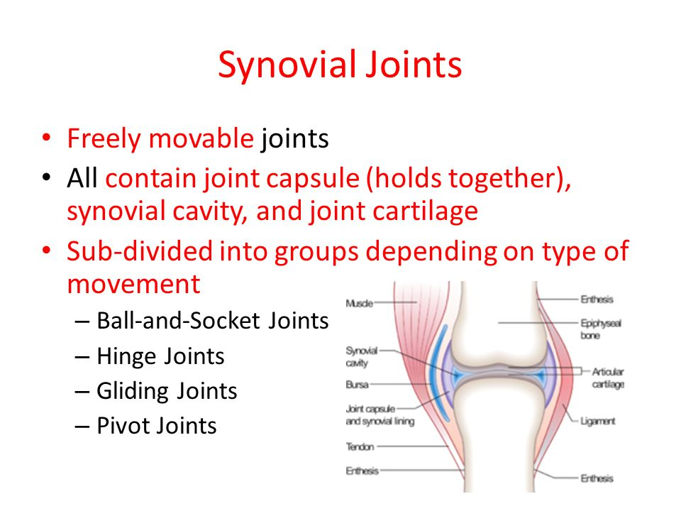 Joints Of The Human Body What Is A Joint Location At Which Two Or