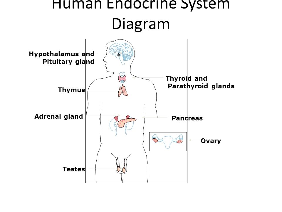 Endocrine system hormones the human endocrine system the endocrine 3 human endocrine system diagram hypothalamus and pituitary gland thyroid and parathyroid glands thymus adrenal gland pancreas ovary testes ccuart Choice Image