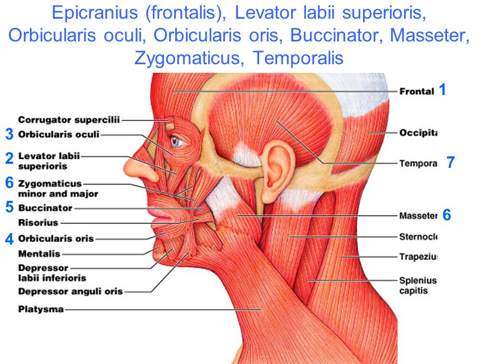 Human Head And Eye Muscles Epicranius Frontalis Levator Labii