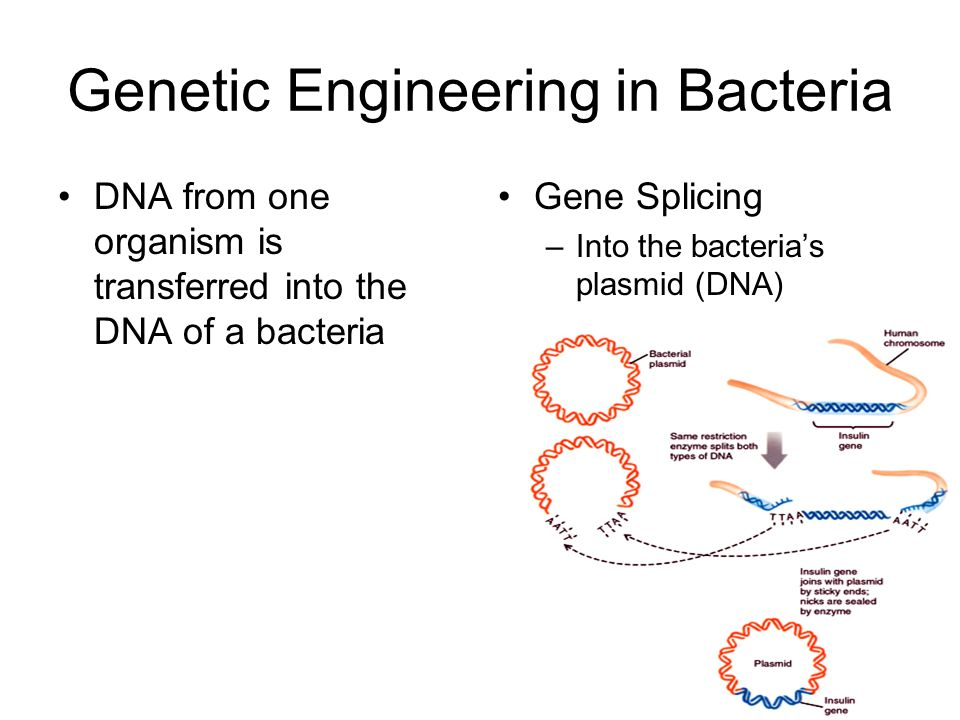 Genetic Engineering in Bacteria DNA from one organism is transferred into the DNA of a bacteria Gene Splicing –Into the bacteria's plasmid (DNA)