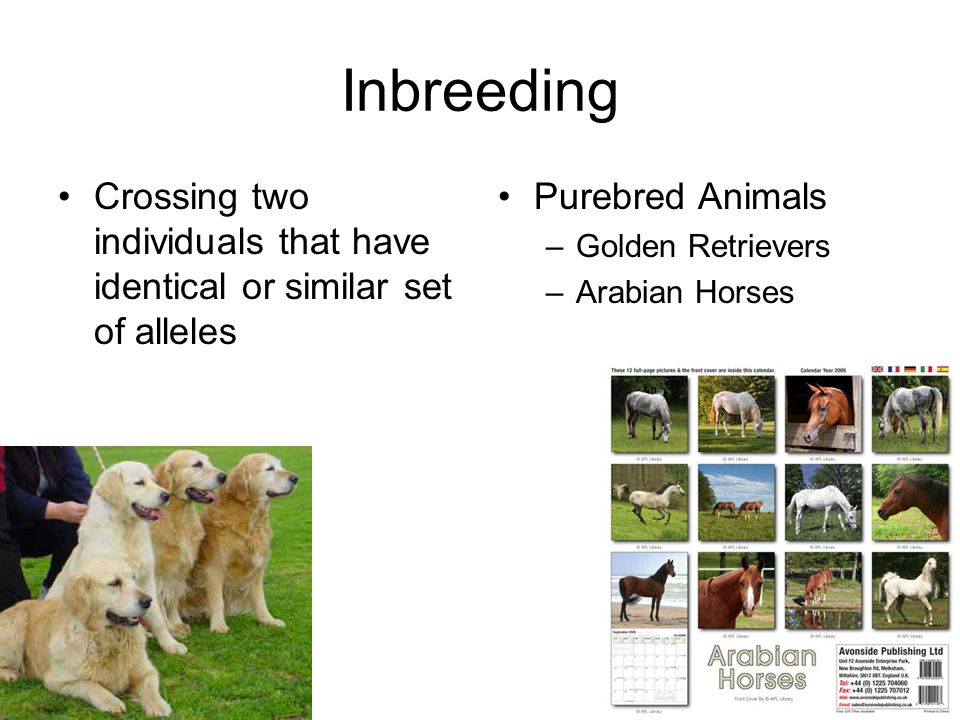 Inbreeding Crossing two individuals that have identical or similar set of alleles Purebred Animals –Golden Retrievers –Arabian Horses