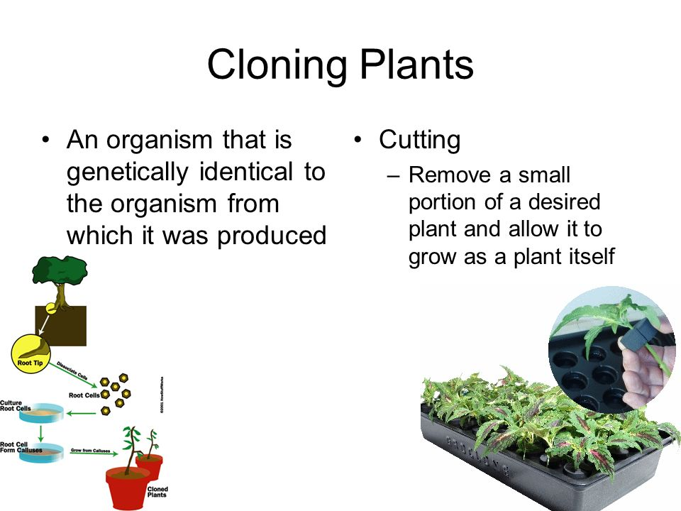 Cloning Plants An organism that is genetically identical to the organism from which it was produced Cutting –Remove a small portion of a desired plant and allow it to grow as a plant itself