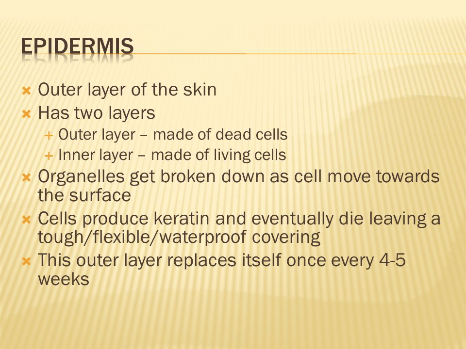  Outer layer of the skin  Has two layers  Outer layer – made of dead cells  Inner layer – made of living cells  Organelles get broken down as cell move towards the surface  Cells produce keratin and eventually die leaving a tough/flexible/waterproof covering  This outer layer replaces itself once every 4-5 weeks