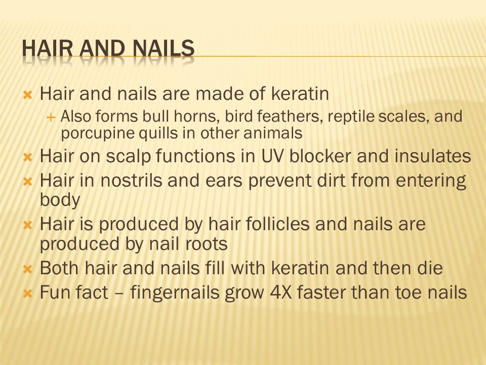  Hair and nails are made of keratin  Also forms bull horns, bird feathers, reptile scales, and porcupine quills in other animals  Hair on scalp functions in UV blocker and insulates  Hair in nostrils and ears prevent dirt from entering body  Hair is produced by hair follicles and nails are produced by nail roots  Both hair and nails fill with keratin and then die  Fun fact – fingernails grow 4X faster than toe nails