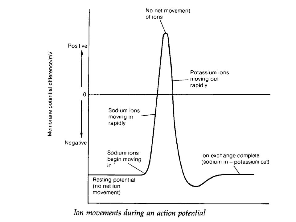 An Action Potential A nerve impulse can be initiated by mechanical, chemical, thermal or electrical stimulation Experiment show that when a small electrical current is applied to the axon the resting potential changes from – 70 mV to + 40 mV This change in potential is called the action potential