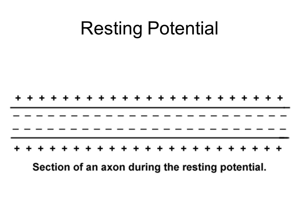 The difference between the two potential charges is called the resting potential The membrane of a neuron is negatively charged internally with respect to outside This generates a potential difference of around mV (resting potential) Resting Potential