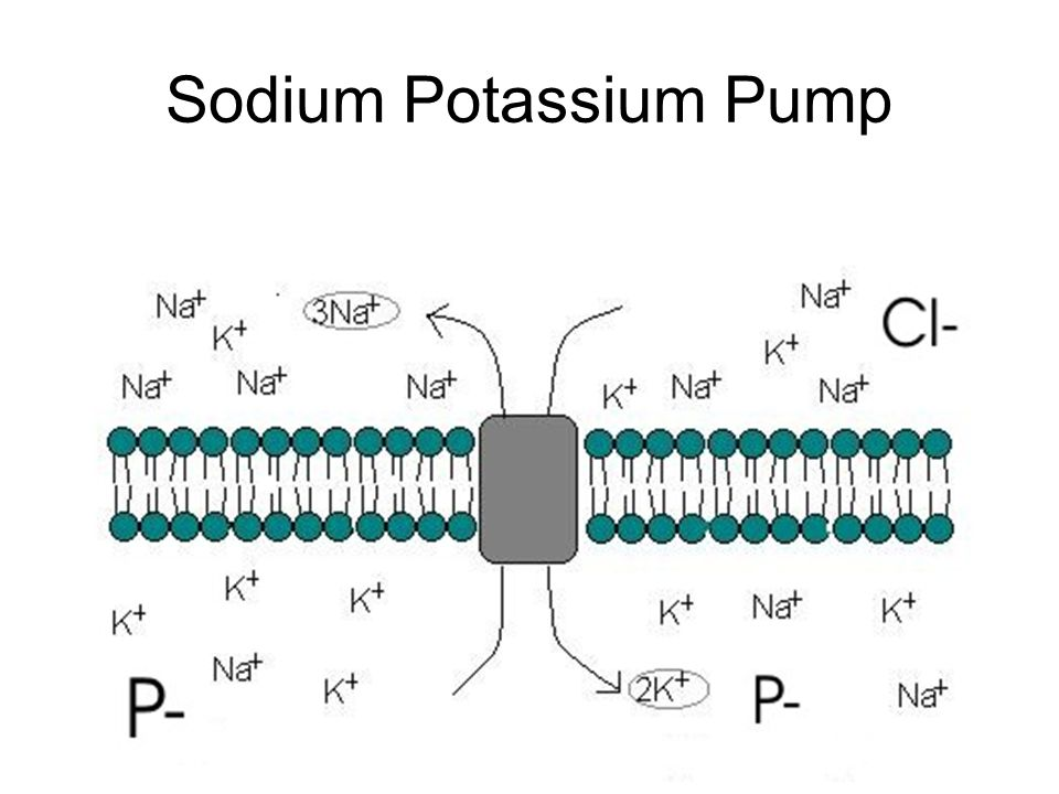 Maintaining the Resting Potential Cation pumps (Na pumps) maintain active transport of K + ions in and Na + out of the neurone 3 Na + ions are pumped out at the same time 2 K+ ions are pumped in This is done by the Sodium Potassium ATPase pump