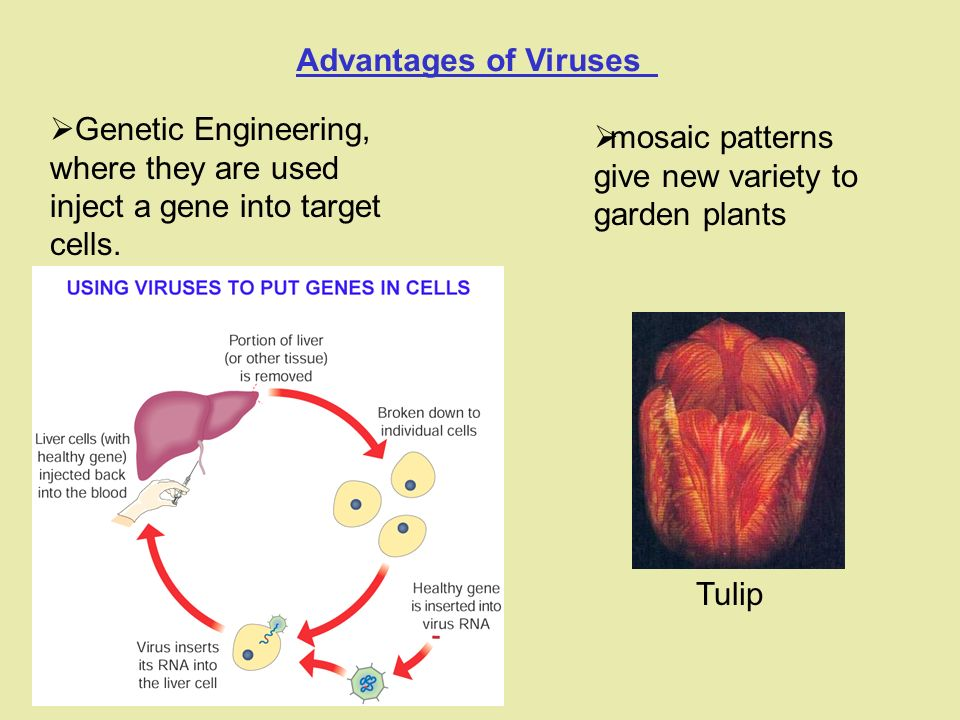 Advantages of Viruses  Genetic Engineering, where they are used inject a gene into target cells.