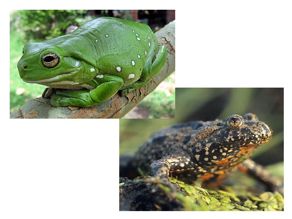 Amphibians Octavio's Book Amphibians  Amphibians are