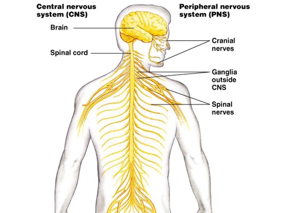 Nervous System Organization Of Peripheral Nervous System Pns