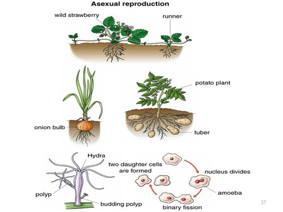 Corms asexual reproduction video