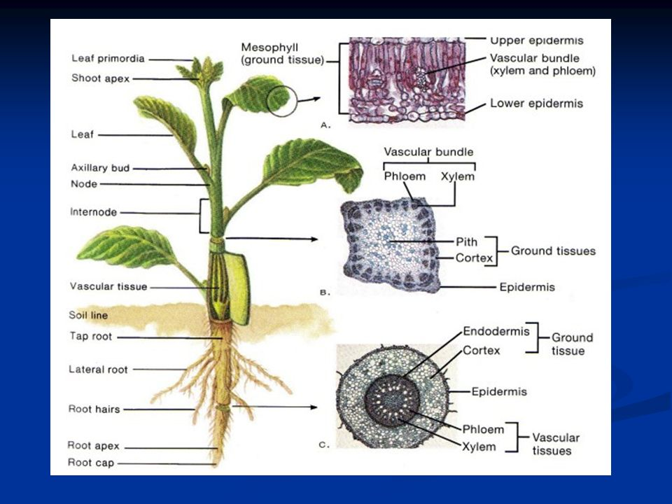 Lecture 4 Anatomical Structure Of Vegetative Plants Organ Plan 1