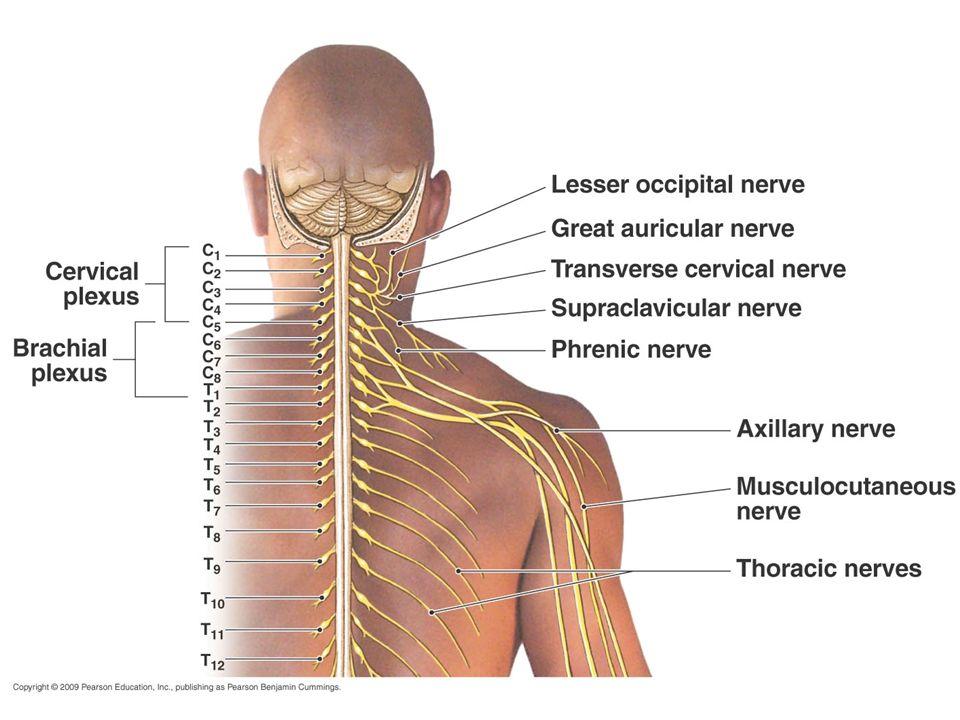 1 Spinal nerves, cervical plexus. 2 Peripheral Nervous System ways ...