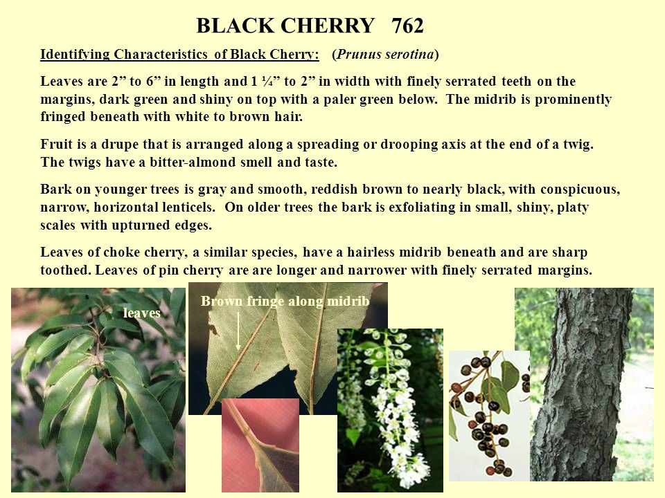 Ozone symptom identification identifying characteristics of ozone 9 identifying characteristics of black cherry publicscrutiny Gallery