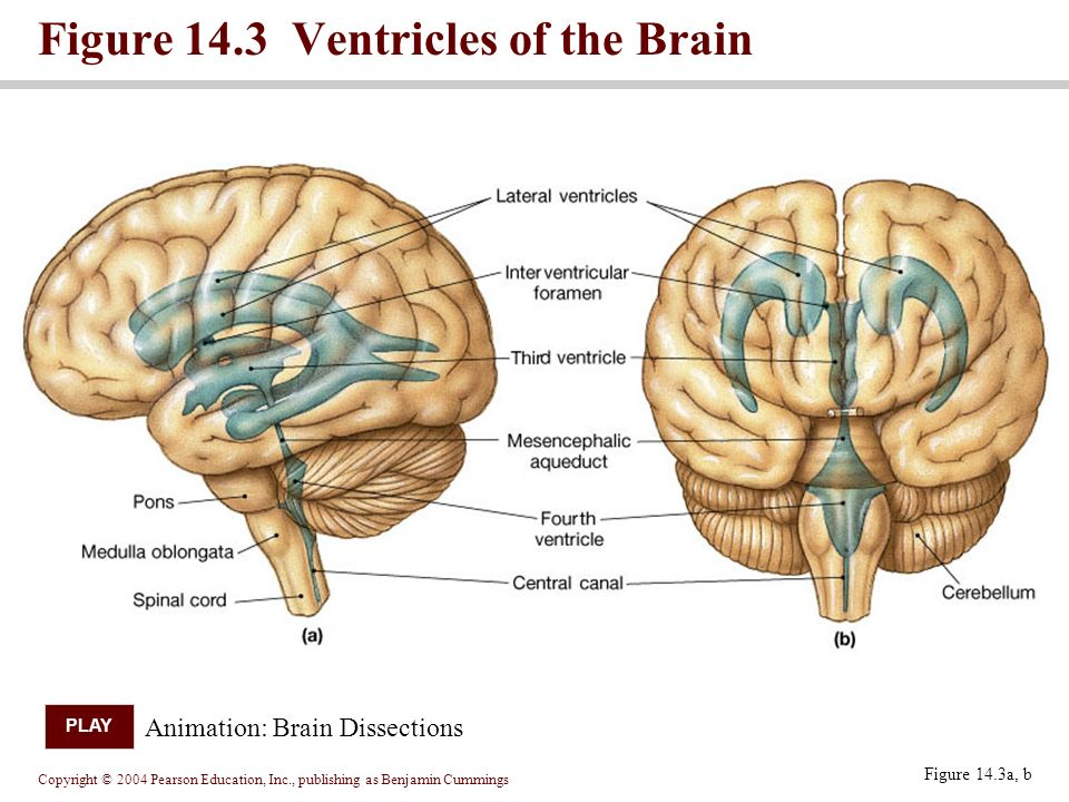 Copyright © 2004 Pearson Education, Inc., publishing as Benjamin Cummings Figure 14.3a, b Figure 14.3 Ventricles of the Brain Animation: Brain Dissections PLAY