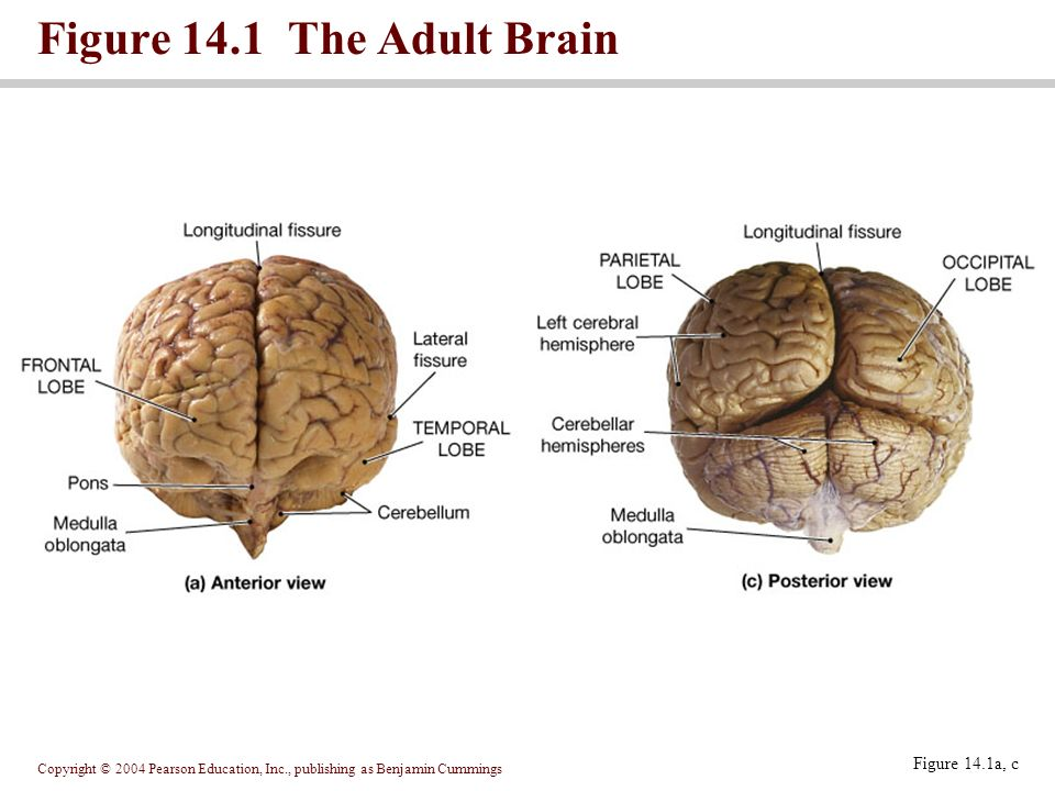 Copyright © 2004 Pearson Education, Inc., publishing as Benjamin Cummings Figure 14.1 The Adult Brain Figure 14.1a, c