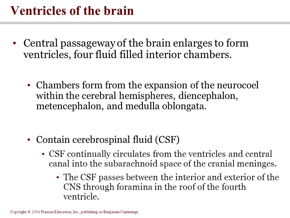 Copyright © 2004 Pearson Education, Inc., publishing as Benjamin Cummings Central passageway of the brain enlarges to form ventricles, four fluid filled interior chambers.
