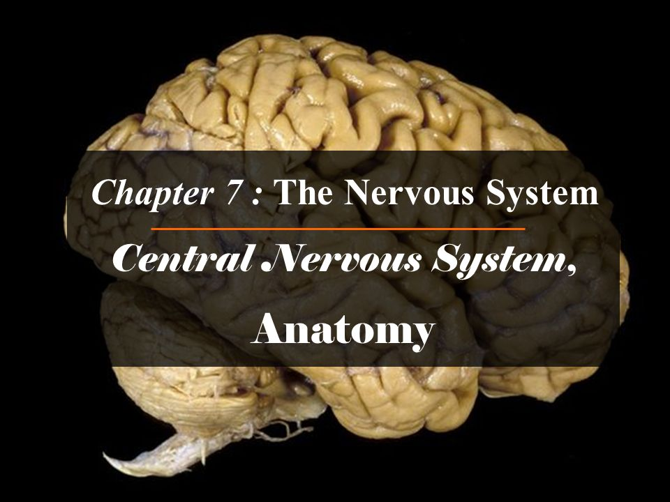 Chapter 7 : The Nervous System Central Nervous System, Anatomy ...