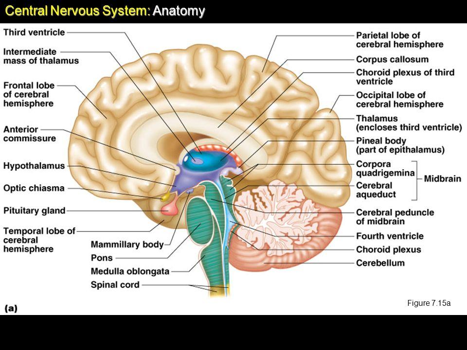 Chapter 7 The Nervous System Central Nervous System Anatomy