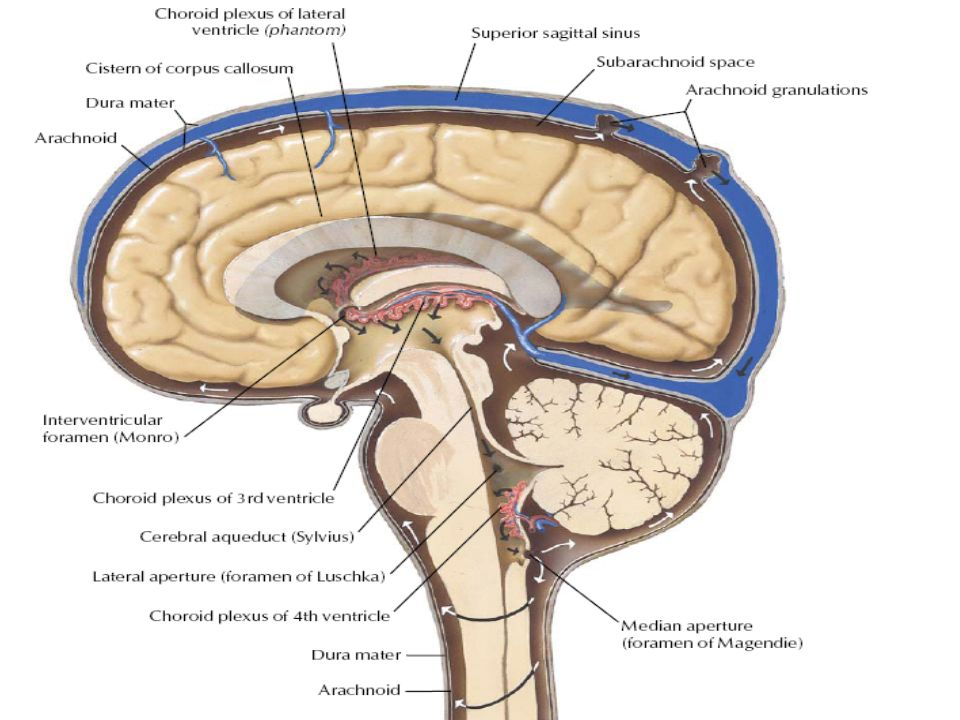 NEUROANATOMY Lecture : 6 The Ventricles and Meninges of the Brain ...