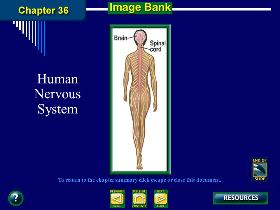 To return to the chapter summary click escape or close this document. Human Nervous System