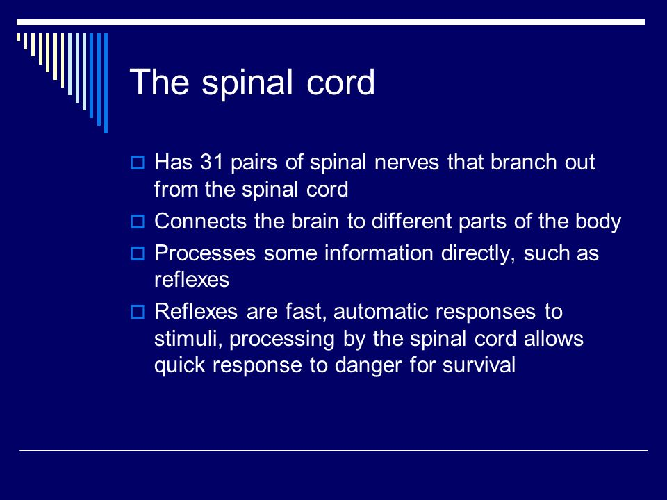 The spinal cord  Has 31 pairs of spinal nerves that branch out from the spinal cord  Connects the brain to different parts of the body  Processes some information directly, such as reflexes  Reflexes are fast, automatic responses to stimuli, processing by the spinal cord allows quick response to danger for survival