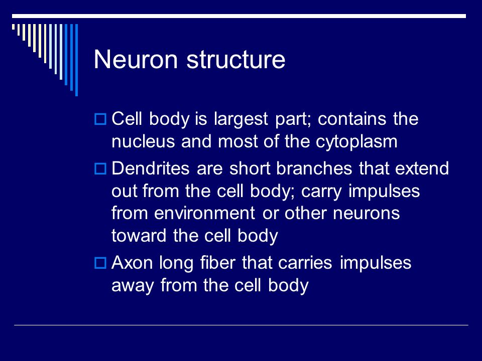 Neuron structure  Cell body is largest part; contains the nucleus and most of the cytoplasm  Dendrites are short branches that extend out from the cell body; carry impulses from environment or other neurons toward the cell body  Axon long fiber that carries impulses away from the cell body