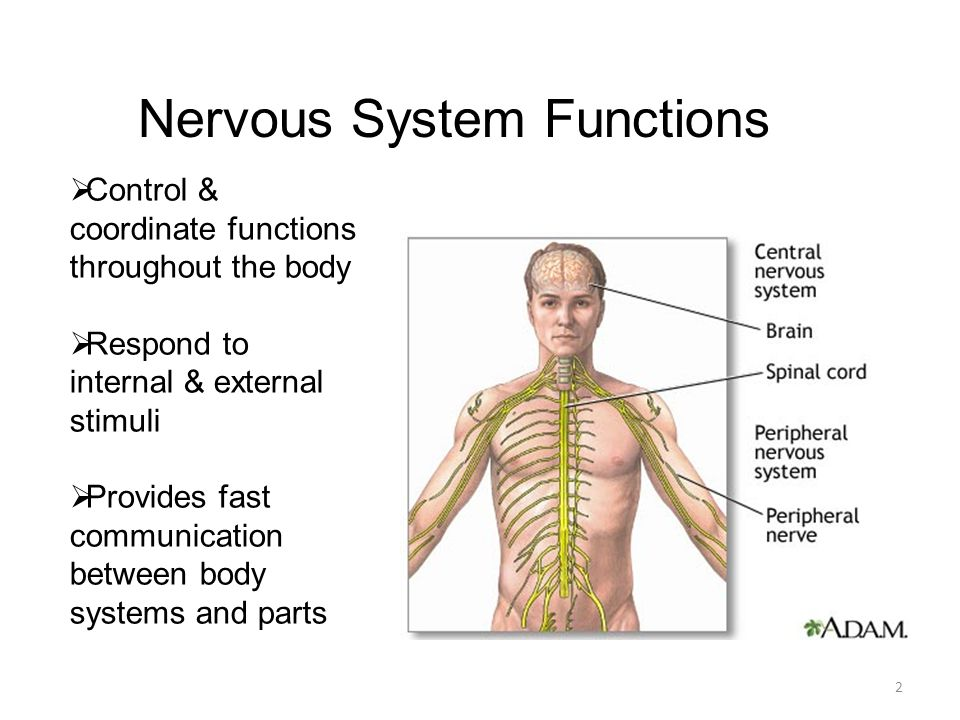 Human Anatomy & Physiology NERVOUS SYSTEM Biology – Chapter ppt download