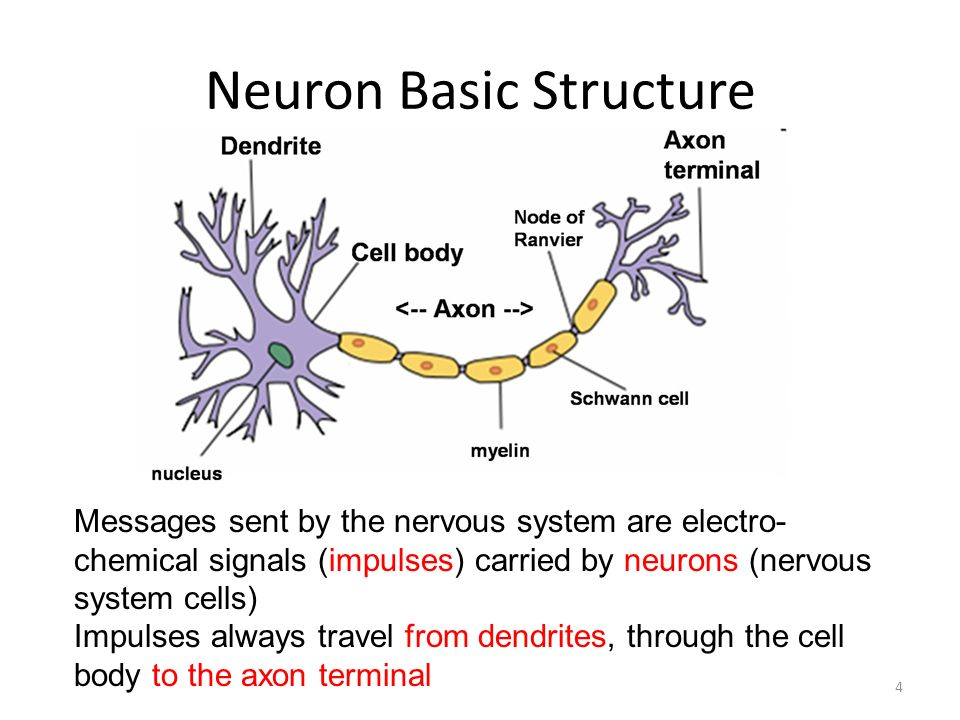 Human Anatomy Physiology Nervous System Biology Chapter Ppt Download