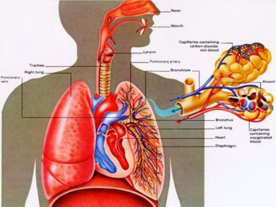 Human Respiratory System - ppt video online download