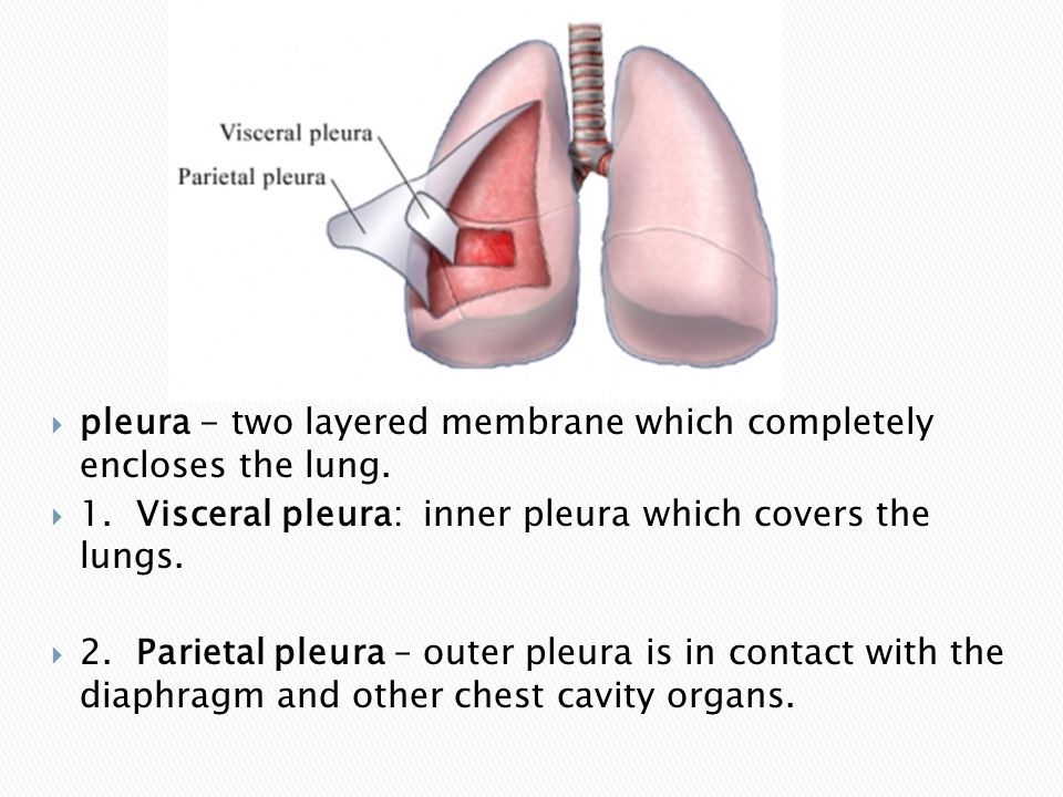 pleura - two layered membrane which completely encloses the lung.