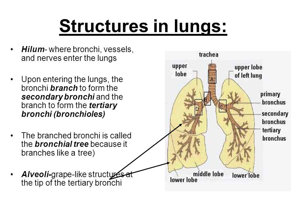 Respiratory System Components Nose Pharynx Throat Larynx Trachea