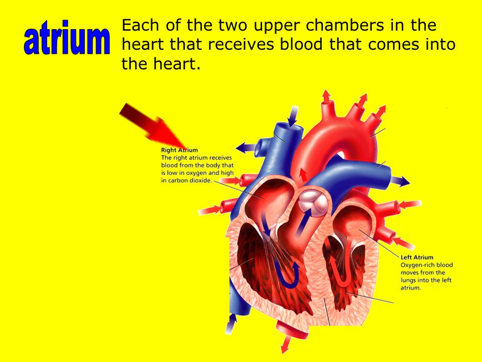 Each of the two upper chambers in the heart that receives blood that comes into the heart.