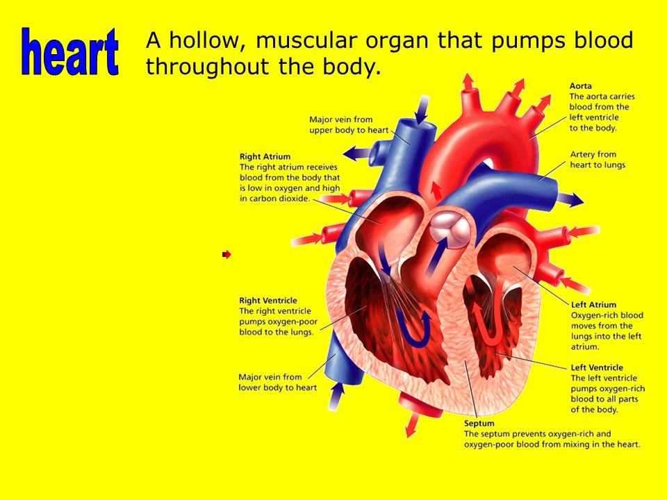 A hollow, muscular organ that pumps blood throughout the body.