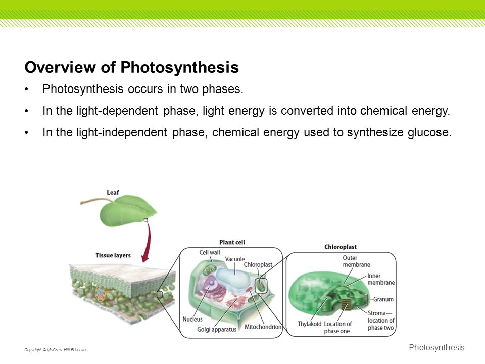 photsynthesis-what light is seen Protein biosynthesis in cells occurs in two different stages the first stage is called transcription it occurs in the cell nucleus and it involves a sequence of dna being converted into a.