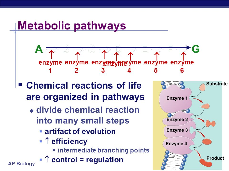 AP Biology Cooperativity  Substrate acts as an activator  substrate causes conformational change in enzyme  induced fit  favors binding of substrate at 2 nd site  makes enzyme more active & effective  hemoglobin Hemoglobin  4 polypeptide chains  can bind 4 O 2 ;  1 st O 2 binds  now easier for other 3 O 2 to bind
