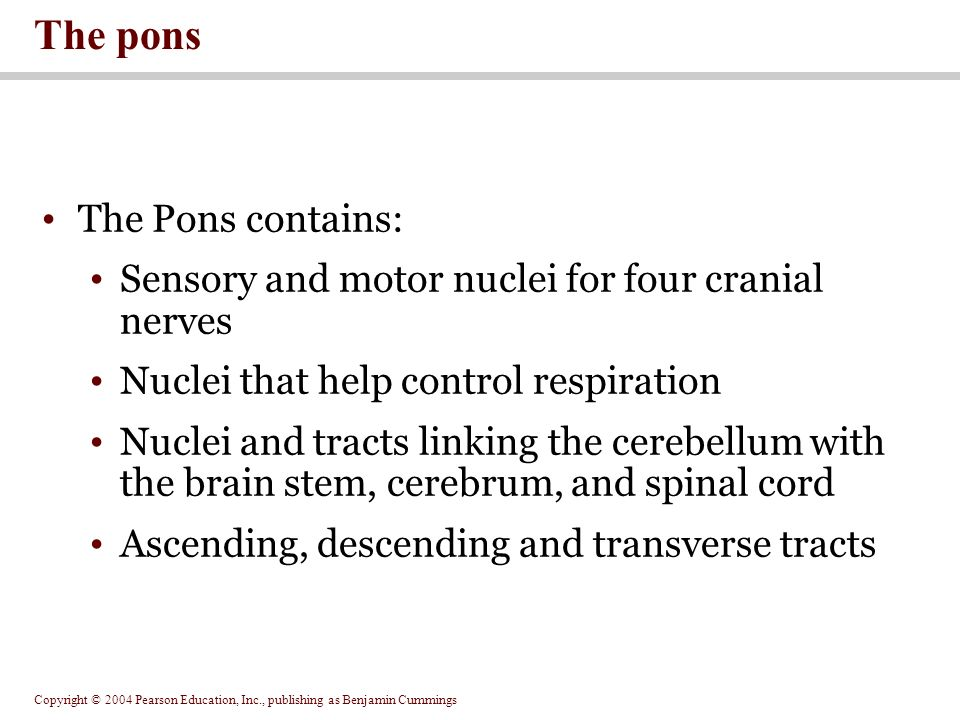 Copyright © 2004 Pearson Education, Inc., publishing as Benjamin Cummings The Pons contains: Sensory and motor nuclei for four cranial nerves Nuclei that help control respiration Nuclei and tracts linking the cerebellum with the brain stem, cerebrum, and spinal cord Ascending, descending and transverse tracts The pons