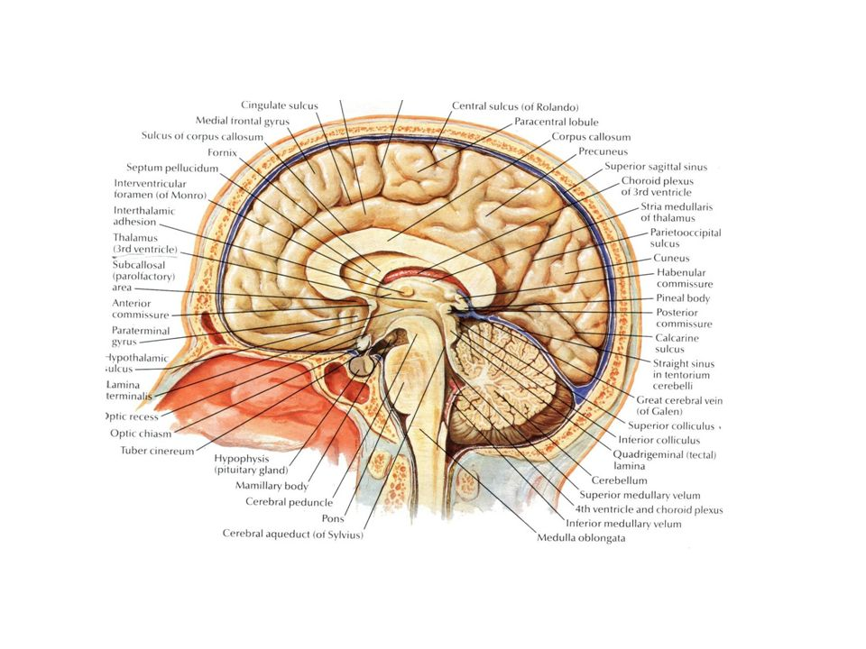 Anatomy of Brainstem. Anatomy of derivative of the Metencephalon and ...