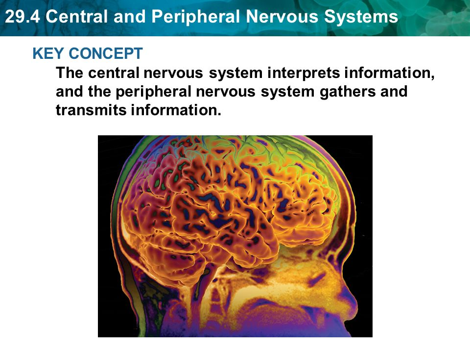 29.4 Central and Peripheral Nervous Systems KEY CONCEPT The central nervous system interprets information, and the peripheral nervous system gathers and transmits information.