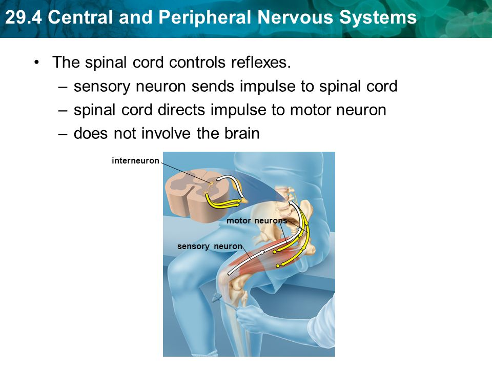 29.4 Central and Peripheral Nervous Systems The spinal cord controls reflexes.
