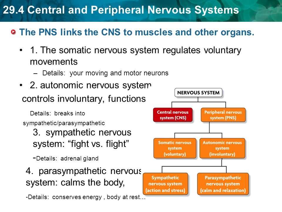 29.4 Central and Peripheral Nervous Systems The PNS links the CNS to muscles and other organs.