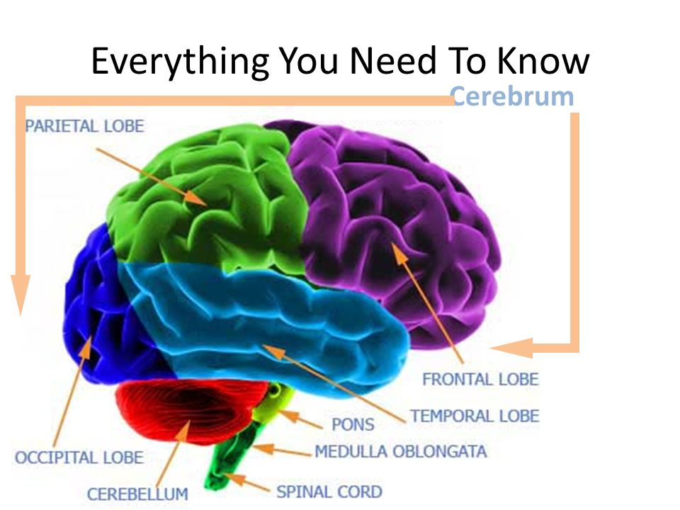 Cerebrum Everything You Need To Know
