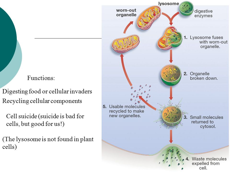 Unit 3 section sec 72 cell structure animal and plant cells have recycling cellular components functions digesting food or cellular invaders the lysosome is not found in plant cells ccuart Images