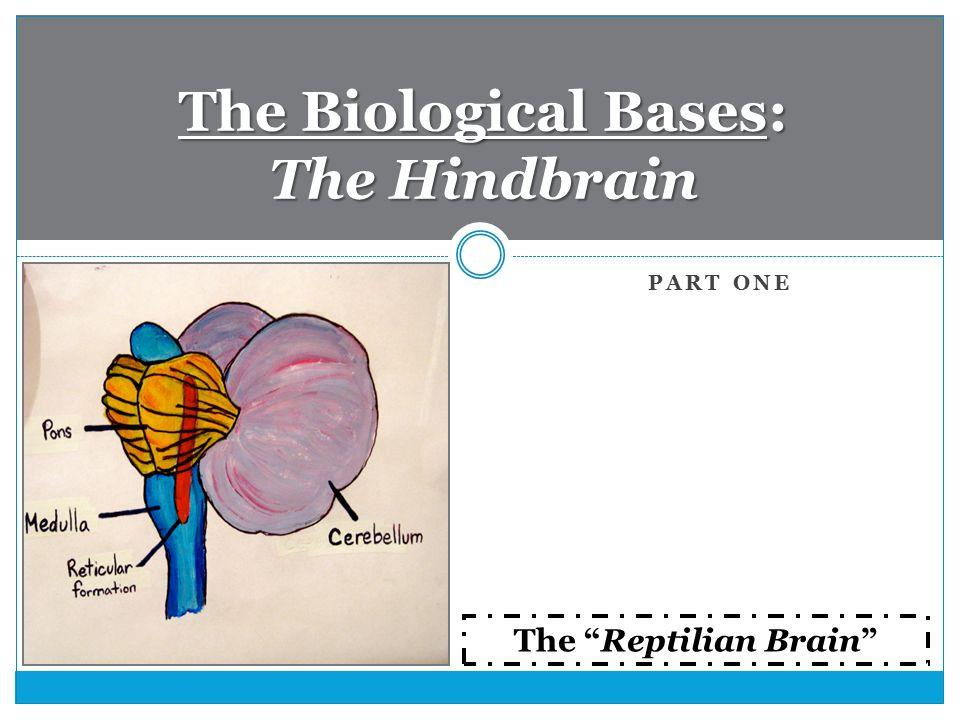 hindbrain function psychology