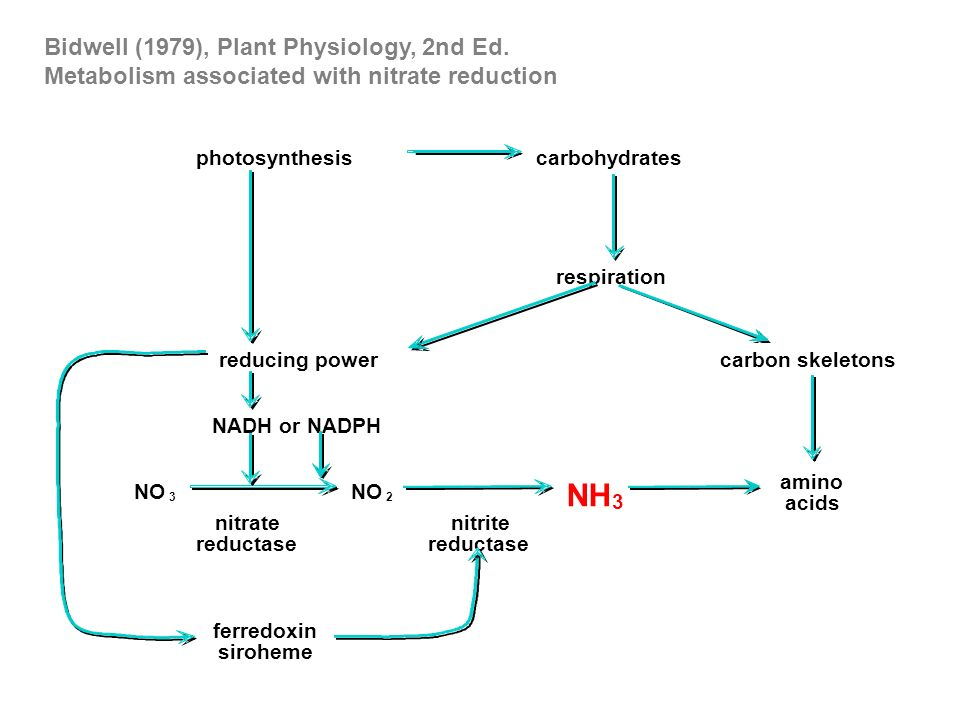 photosynthesis carbohydrates respiration carbon skeletons amino acids NH 3 reducing power nitrite reductase nitrate reductase ferredoxin siroheme NO 2 3 NADH or NADPH Bidwell (1979), Plant Physiology, 2nd Ed.
