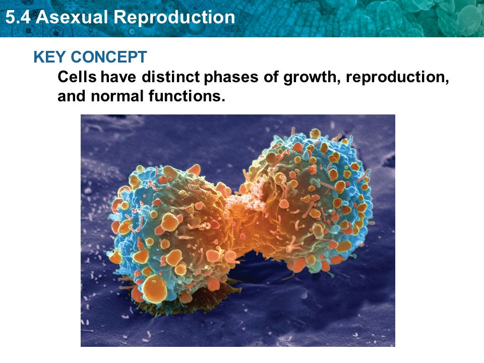 Biology 5.4 asexual reproduction in humans