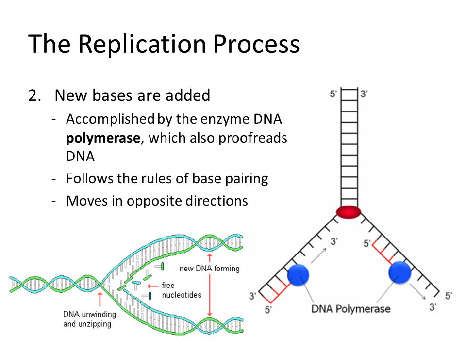 Chapter 123 Pgs Dna Replication The Replication Process 1dna