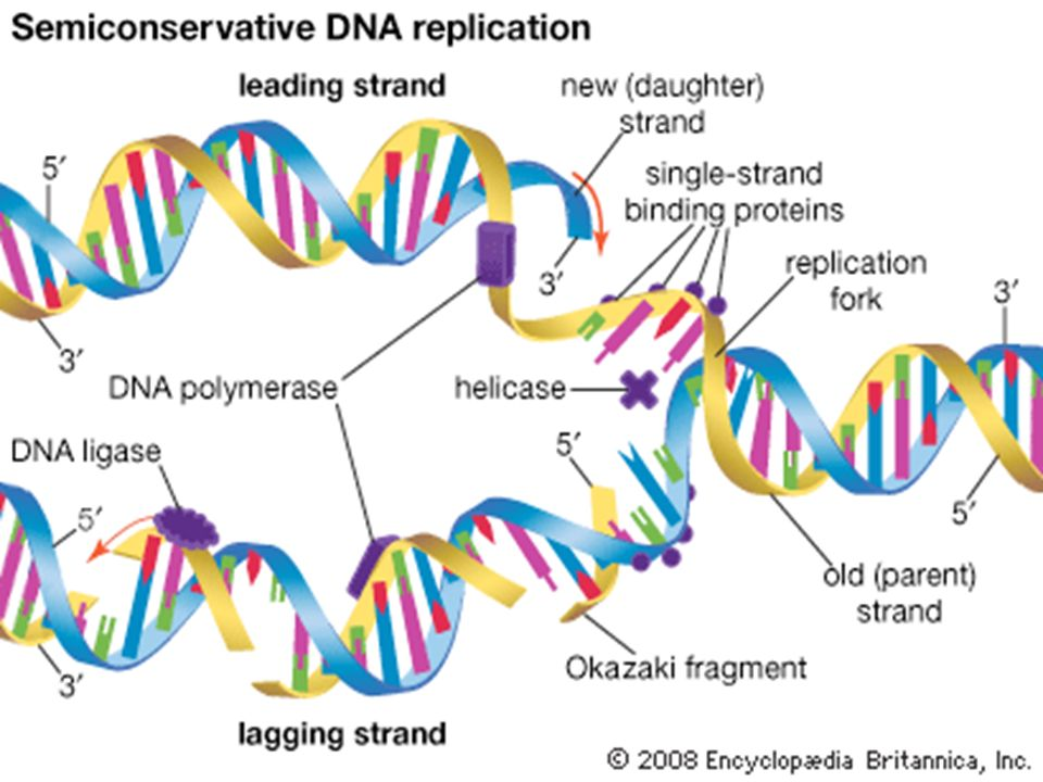 Dna Replication Replication The Process Before A Cell Divides It