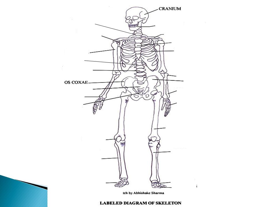 Anatomy Skeletal System 5 Major Functions Shape And Support